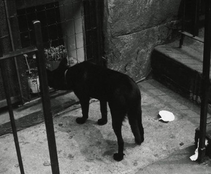 "Untitled, "" Dog looking in, 1964"""