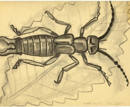 Earwig Charcoal 